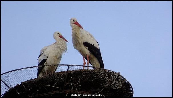 Cigognes dans leur nid sur un toit de Sélestat